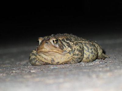 fat toad